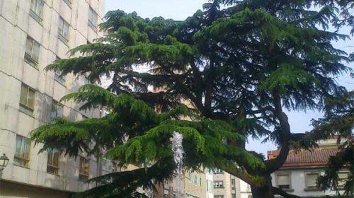 Cedros do Himalaia no Parque das Palmeiras