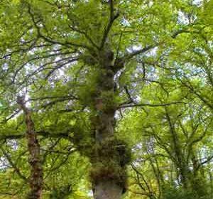 Un árbol Monumento: A Carballa da Rocha
